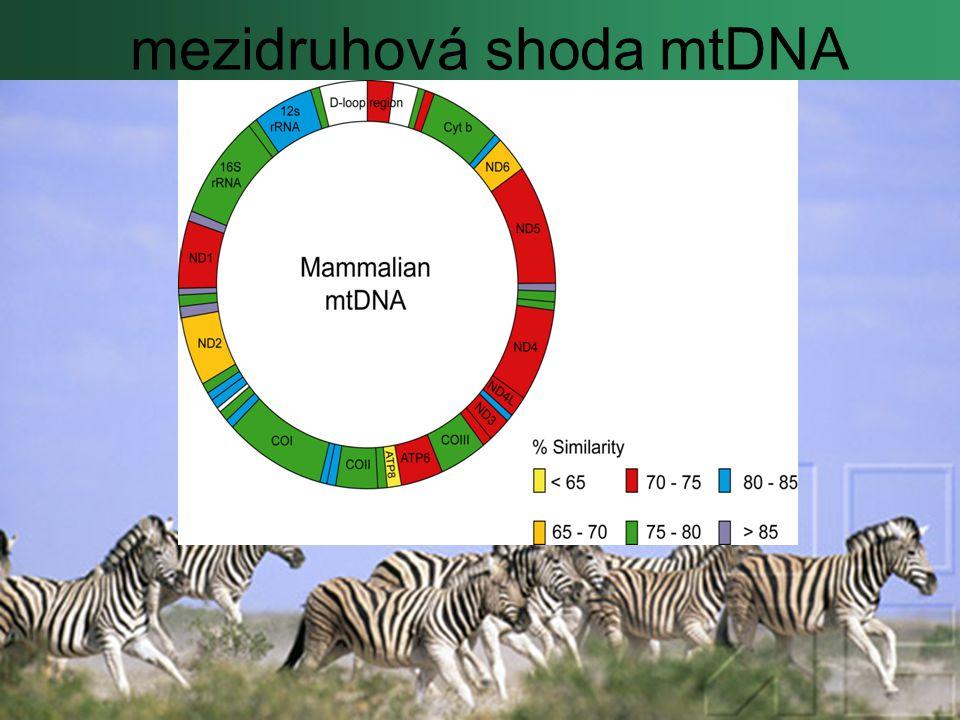 mezidruhová shoda mtDNA