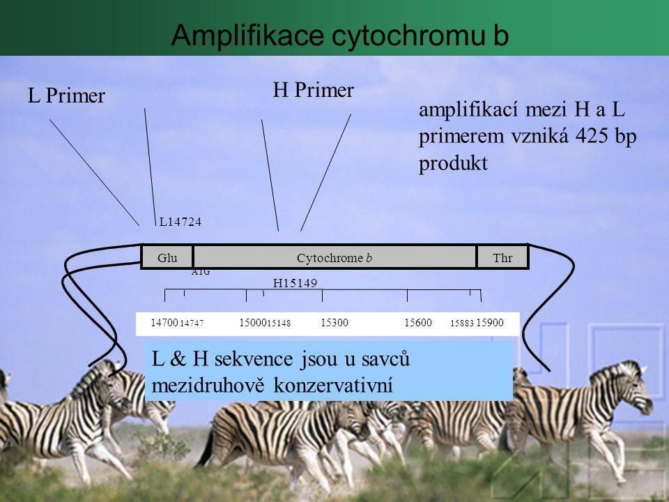 Amplifikace cytochromu b GluThrCytochromeb L14724 H15149 14700 14747 15000 15148 15300 15600 15883 15900 ATG L Primer H Primer amplifikací mezi H a L primerem vzniká 425 bp produkt L & H sekvence jsou u savců mezidruhově konzervativní