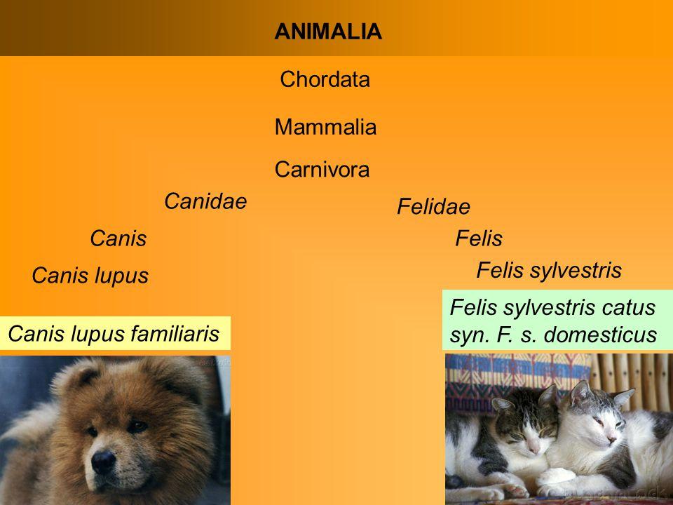 ANIMALIA Chordata Mammalia Carnivora Canidae Canis Canis lupus Canis lupus familiaris Felidae Felis Felis sylvestris Felis sylvestris catus syn.