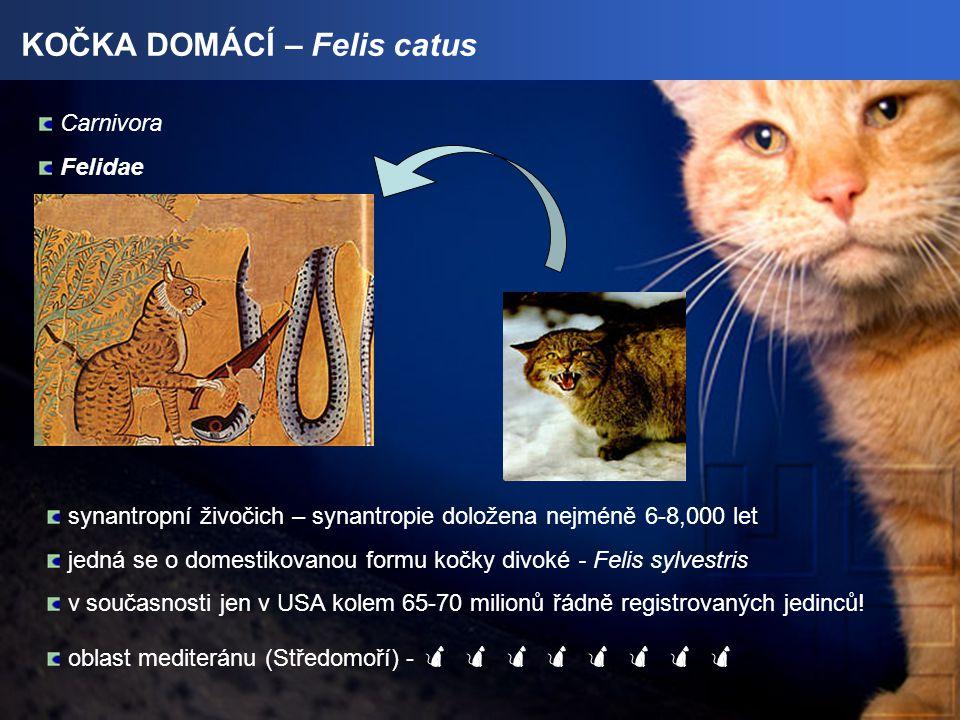KOČKA DOMÁCÍ – Felis catus Carnivora Felidae synantropní živočich – synantropie doložena nejméně 6-8,000 let jedná se o domestikovanou formu kočky divoké - Felis sylvestris v současnosti jen v USA kolem 65-70 milionů řádně registrovaných jedinců.
