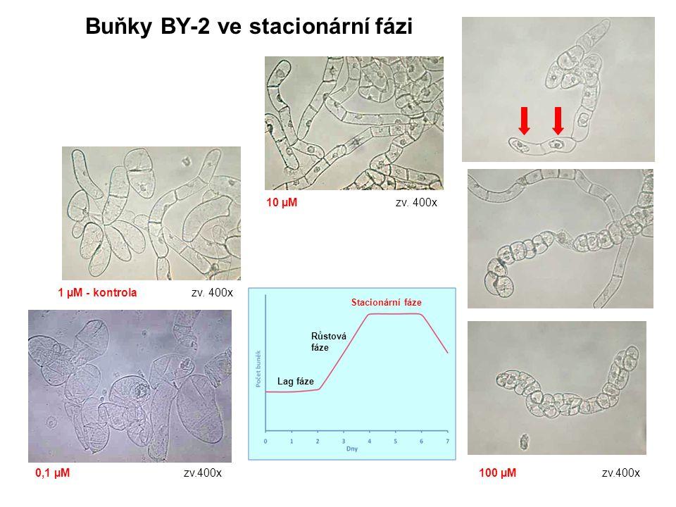 Buňky BY-2 ve stacionární fázi 0,1 µM zv.400x 1 µM - kontrola zv. 400x 10 µM zv. 400x 100 µM zv.400x Lag fáze Růstová fáze Stacionární fáze