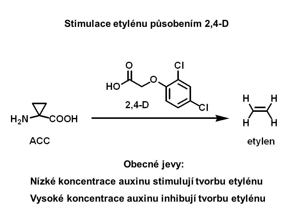 Stimulace etylénu působením 2,4-D Nízké koncentrace auxinu stimulují tvorbu etylénu Vysoké koncentrace auxinu inhibují tvorbu etylénu Obecné jevy: