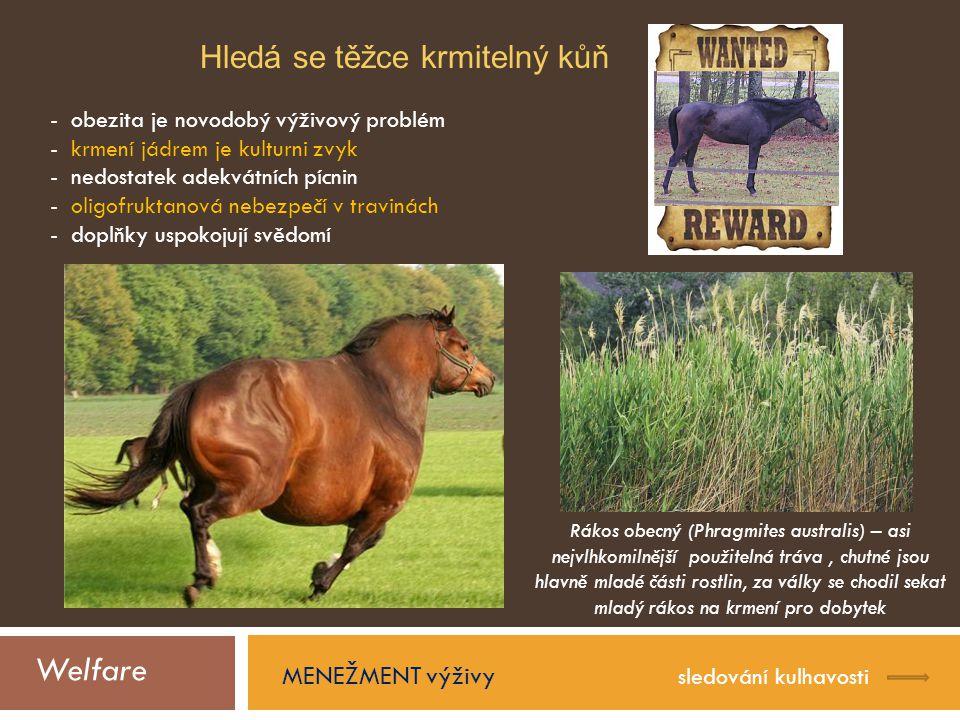 Welfare MENEŽMENT výživy sledování kulhavosti Hledá se těžce krmitelný kůň - obezita je novodobý výživový problém - krmení jádrem je kulturni zvyk - nedostatek adekvátních pícnin - oligofruktanová nebezpečí v travinách - doplňky uspokojují svědomí Rákos obecný (Phragmites australis) – asi nejvlhkomilnější použitelná tráva, chutné jsou hlavně mladé části rostlin, za války se chodil sekat mladý rákos na krmení pro dobytek