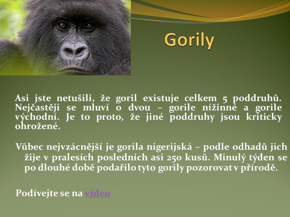 Asi jste netušili, že goril existuje celkem 5 poddruhů. Nejčastěji se mluví o dvou – gorile nížinné a gorile východní. Je to proto, že jiné poddruhy j