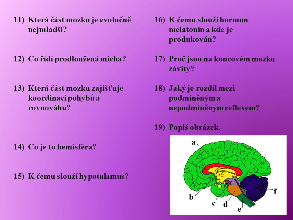 11)Která část mozku je evolučně nejmladší? 12)Co řídí prodloužená mícha? 13)Která část mozku zajišťuje koordinaci pohybů a rovnováhu? 14)Co je to hemi