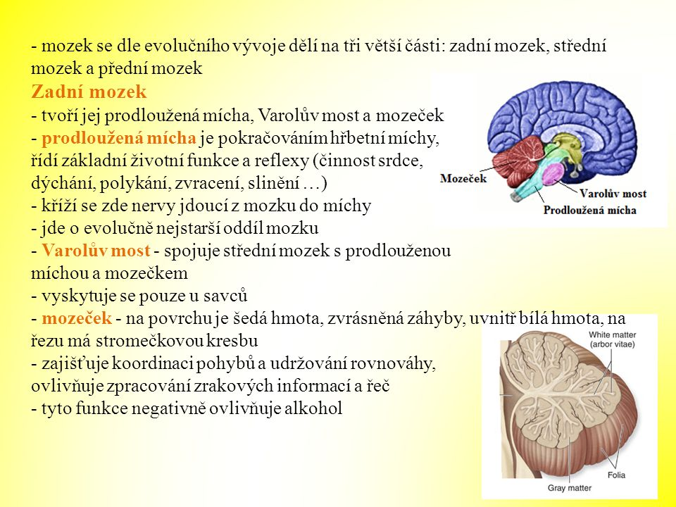 - mozek se dle evolučního vývoje dělí na tři větší části: zadní mozek, střední mozek a přední mozek Zadní mozek - tvoří jej prodloužená mícha, Varolův