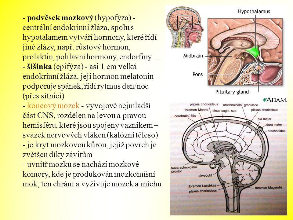 - podvěsek mozkový (hypofýza) - centrální endokrinní žláza, spolu s hypotalamem vytváří hormony, které řídí jiné žlázy, např. růstový hormon, prolakti