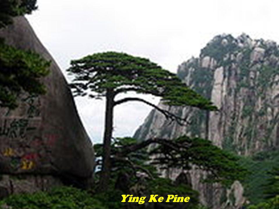 Ying Ke Pine