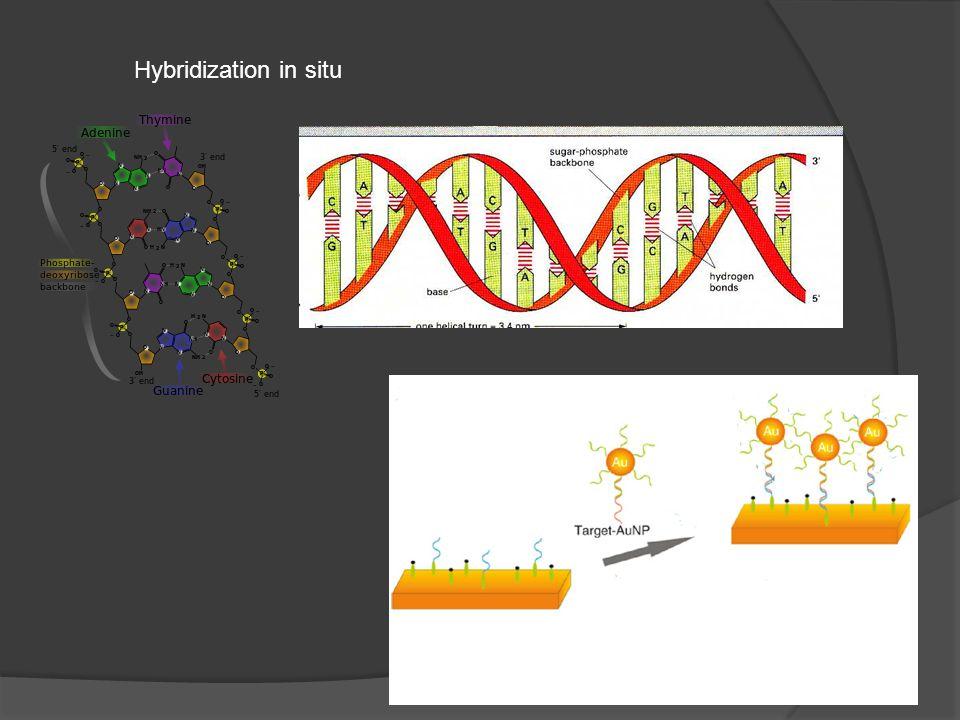 Hybridization in situ