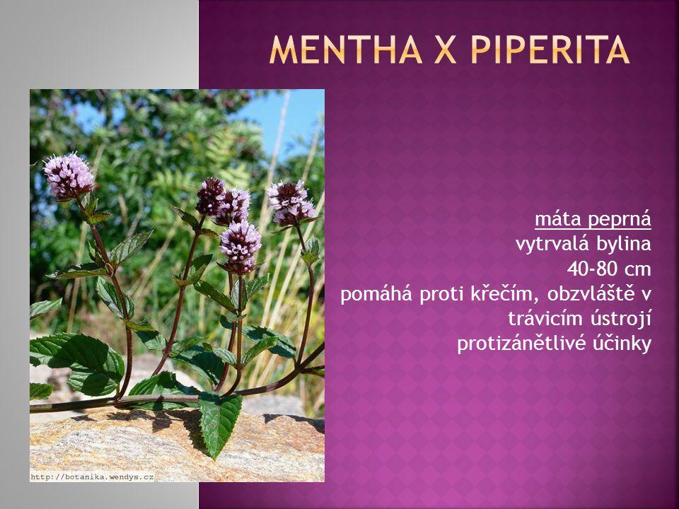 máta peprná vytrvalá bylina 40-80 cm pomáhá proti křečím, obzvláště v trávicím ústrojí protizánětlivé účinky