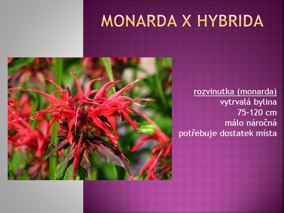 rozvinutka (monarda) vytrvalá bylina 75-120 cm málo náročná potřebuje dostatek místa