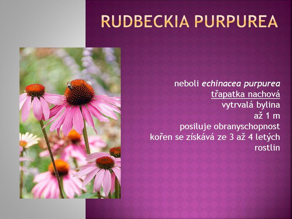 neboli echinacea purpurea třapatka nachová vytrvalá bylina až 1 m posiluje obranyschopnost kořen se získává ze 3 až 4 letých rostlin