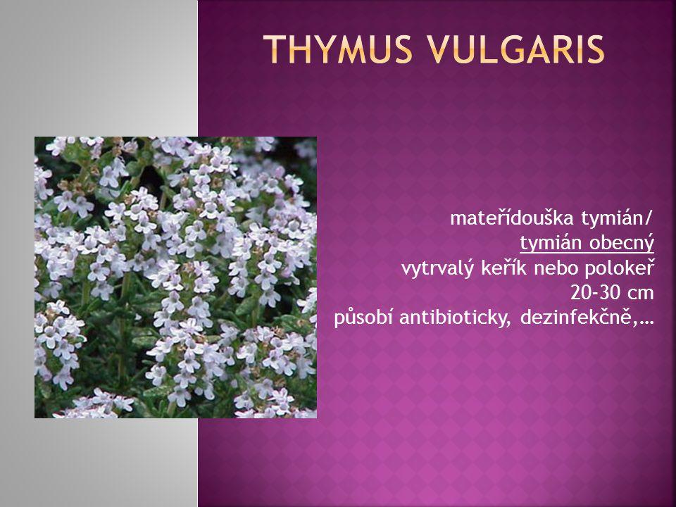 mateřídouška tymián/ tymián obecný vytrvalý keřík nebo polokeř 20-30 cm působí antibioticky, dezinfekčně,…