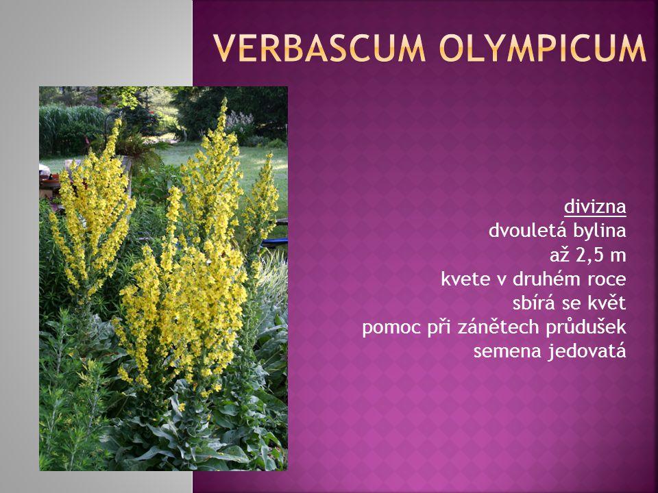 divizna dvouletá bylina až 2,5 m kvete v druhém roce sbírá se květ pomoc při zánětech průdušek semena jedovatá