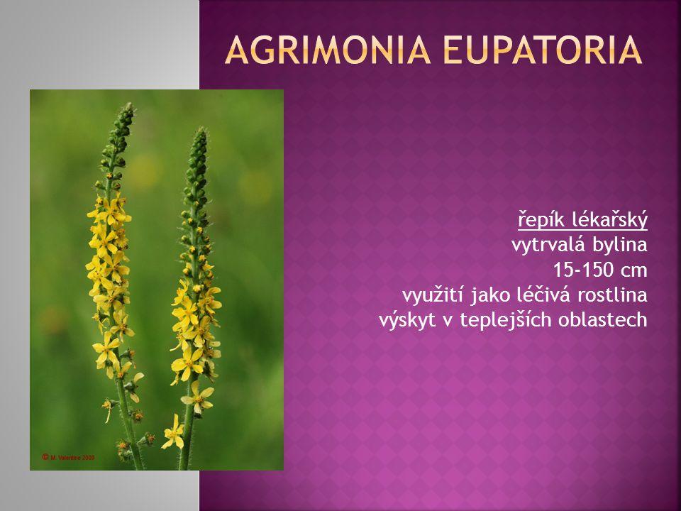 řepík lékařský vytrvalá bylina 15-150 cm využití jako léčivá rostlina výskyt v teplejších oblastech