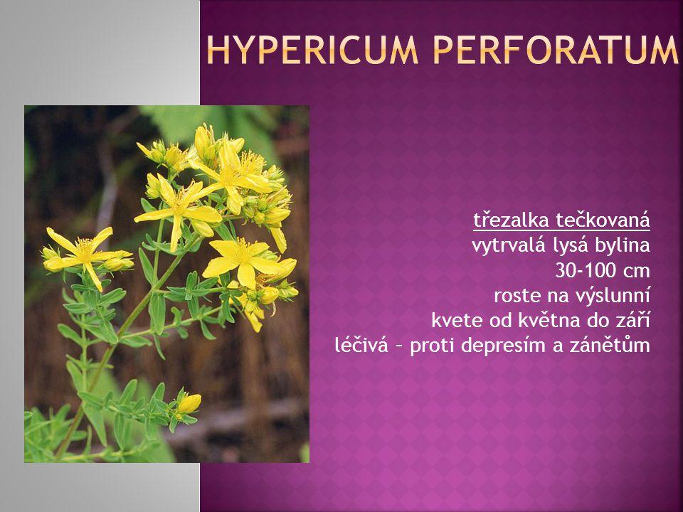 třezalka tečkovaná vytrvalá lysá bylina 30-100 cm roste na výslunní kvete od května do září léčivá – proti depresím a zánětům