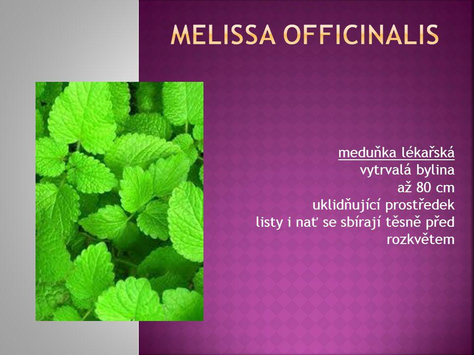 meduňka lékařská vytrvalá bylina až 80 cm uklidňující prostředek listy i nať se sbírají těsně před rozkvětem