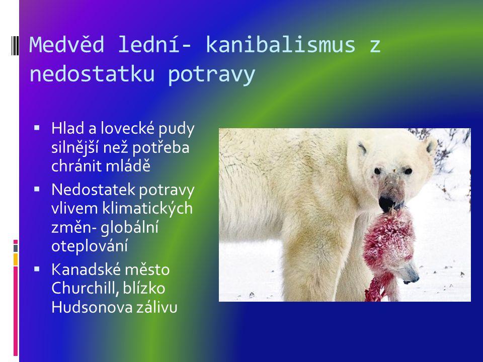 Medvěd lední- kanibalismus z nedostatku potravy  Hlad a lovecké pudy silnější než potřeba chránit mládě  Nedostatek potravy vlivem klimatických změn- globální oteplování  Kanadské město Churchill, blízko Hudsonova zálivu