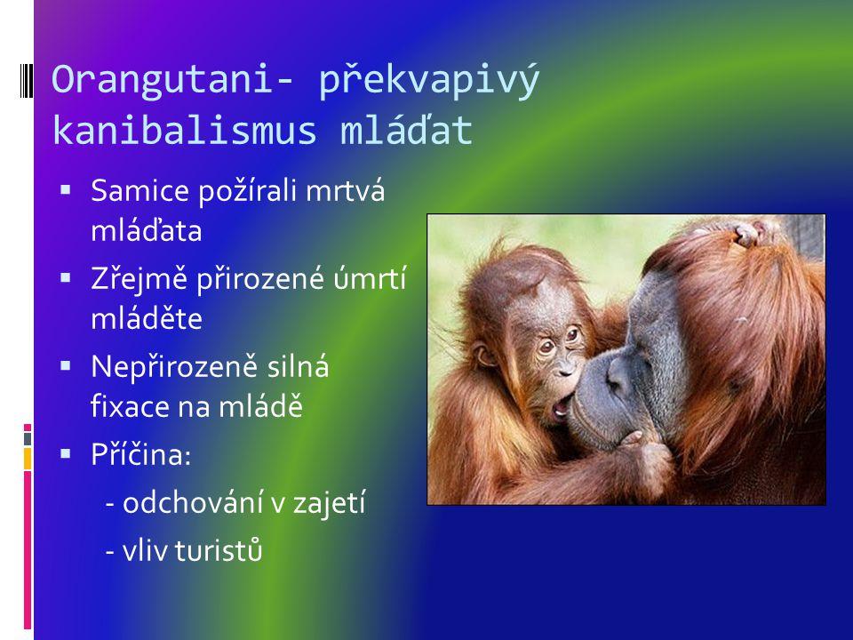 Orangutani- překvapivý kanibalismus mláďat  Samice požírali mrtvá mláďata  Zřejmě přirozené úmrtí mláděte  Nepřirozeně silná fixace na mládě  Příčina: - odchování v zajetí - vliv turistů