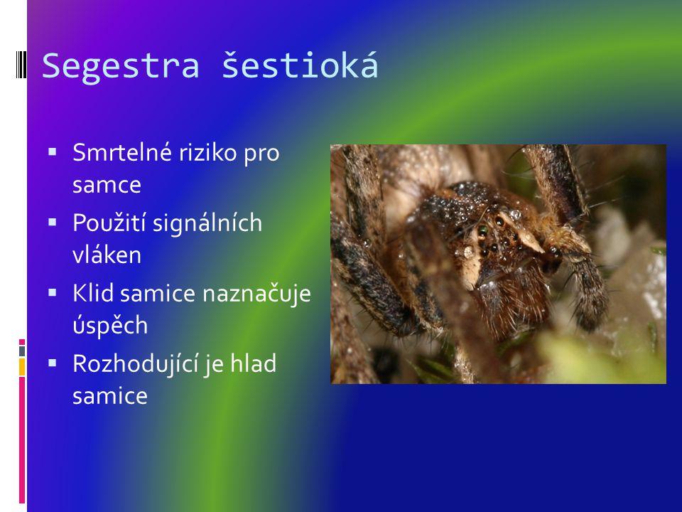 Segestra šestioká  Smrtelné riziko pro samce  Použití signálních vláken  Klid samice naznačuje úspěch  Rozhodující je hlad samice