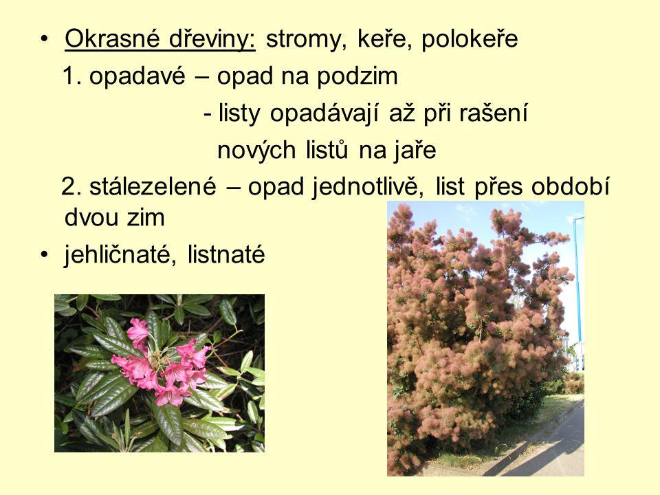 Okrasné dřeviny: stromy, keře, polokeře 1. opadavé – opad na podzim - listy opadávají až při rašení nových listů na jaře 2. stálezelené – opad jednotl
