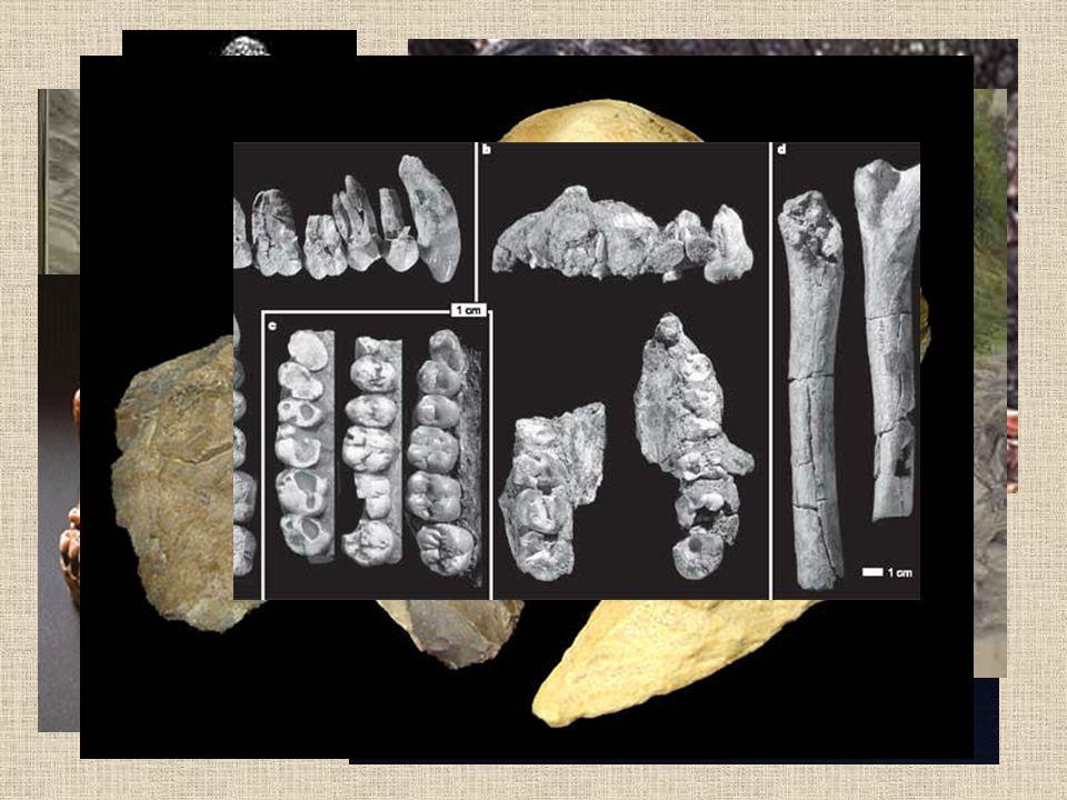 Homo sapiens Nejproslulejší nález zbytků je z roku 1856 z Dűsseldorfu.