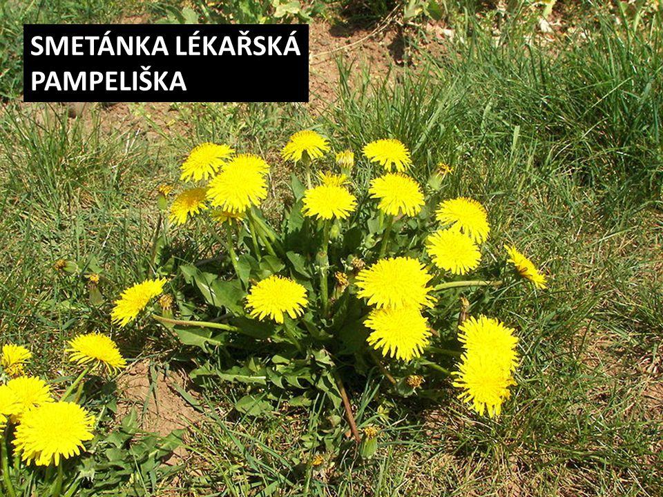 SMETÁNKA LÉKAŘSKÁ PAMPELIŠKA
