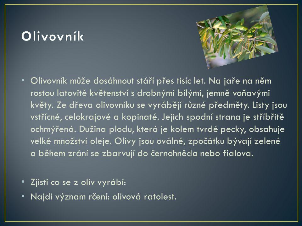 Olivovník může dosáhnout stáří přes tisíc let. Na jaře na něm rostou latovité květenství s drobnými bílými, jemně voňavými květy. Ze dřeva olivovníku