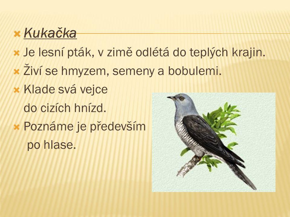 Kukačka  Je lesní pták, v zimě odlétá do teplých krajin.  Živí se hmyzem, semeny a bobulemi.  Klade svá vejce do cizích hnízd.  Poznáme je přede