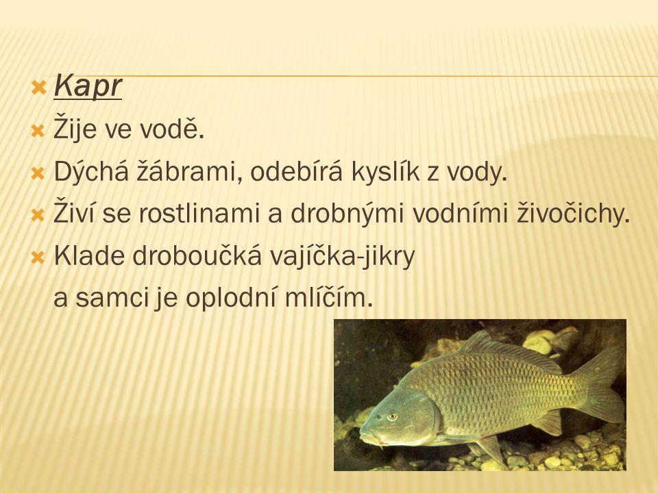  Kapr  Žije ve vodě.  Dýchá žábrami, odebírá kyslík z vody.  Živí se rostlinami a drobnými vodními živočichy.  Klade droboučká vajíčka-jikry a sa