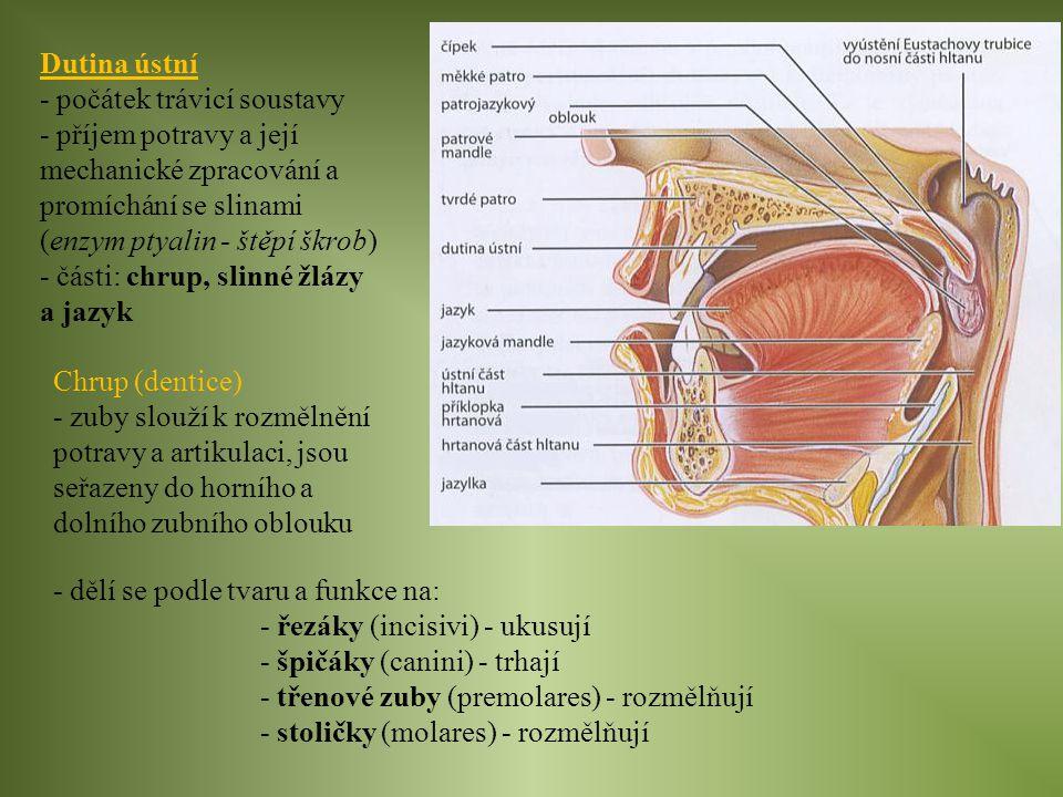 Dutina ústní - počátek trávicí soustavy - příjem potravy a její mechanické zpracování a promíchání se slinami (enzym ptyalin - štěpí škrob) - části: c