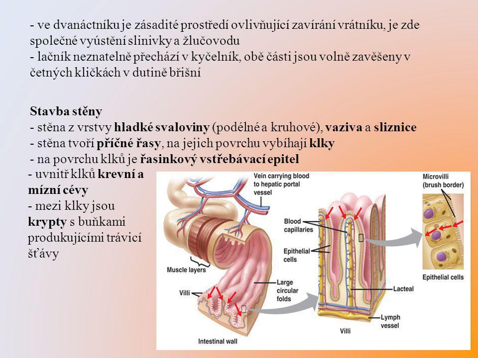 - ve dvanáctníku je zásadité prostředí ovlivňující zavírání vrátníku, je zde společné vyústění slinivky a žlučovodu - lačník neznatelně přechází v kyč