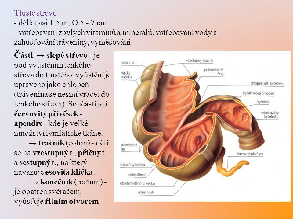 Tlusté střevo - délka asi 1,5 m, Ø 5 - 7 cm - vstřebávání zbylých vitamínů a minerálů, vstřebávání vody a zahušťování tráveniny, vyměšování Části: → s
