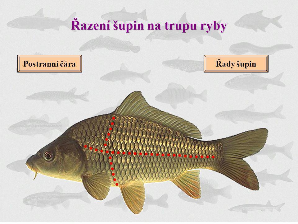 Řazení šupin na trupu ryby Postranní čáraŘady šupin