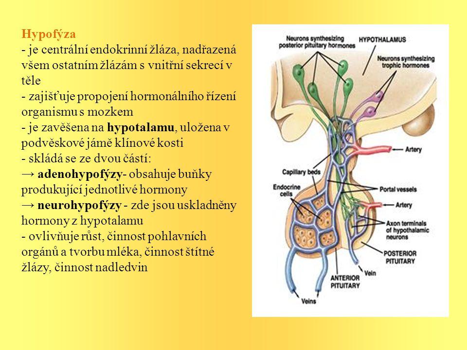 Hypofýza - je centrální endokrinní žláza, nadřazená všem ostatním žlázám s vnitřní sekrecí v těle - zajišťuje propojení hormonálního řízení organismu