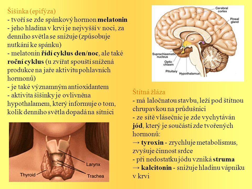 Šišinka (epifýza) - tvoří se zde spánkový hormon melatonin - jeho hladina v krvi je nejvyšší v noci, za denního světla se snižuje (způsobuje nutkání ke spánku) - melatonin řídí cyklus den/noc, ale také roční cyklus (u zvířat spouští snížená produkce na jaře aktivitu pohlavních hormonů) - je také významným antioxidantem - aktivita šišinky je ovlivněna hypothalamem, který informuje o tom, kolik denního světla dopadá na sítnici Štítná žláza - má laločnatou stavbu, leží pod štítnou chrupavkou na průdušnici - ze sítě vlásečnic je zde vychytáván jód, který je součástí zde tvořených hormonů: → tyroxin - zrychluje metabolismus, zvyšuje činnost srdce - při nedostatku jódu vzniká struma → kalcitonin - snižuje hladinu vápníku v krvi