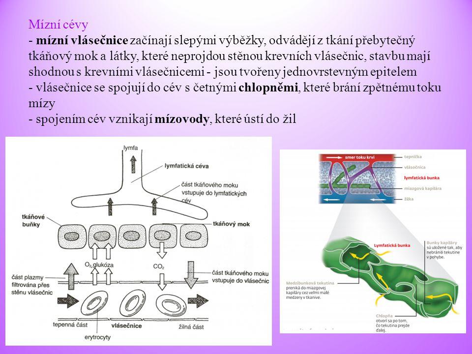 Mízní cévy - mízní vlásečnice začínají slepými výběžky, odvádějí z tkání přebytečný tkáňový mok a látky, které neprojdou stěnou krevních vlásečnic, st