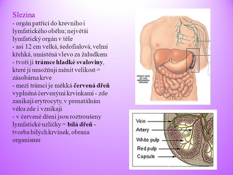 Slezina - orgán patřící do krevního i lymfatického oběhu; největší lymfatický orgán v těle - asi 12 cm velká, šedofialová, velmi křehká, umístěná vlev