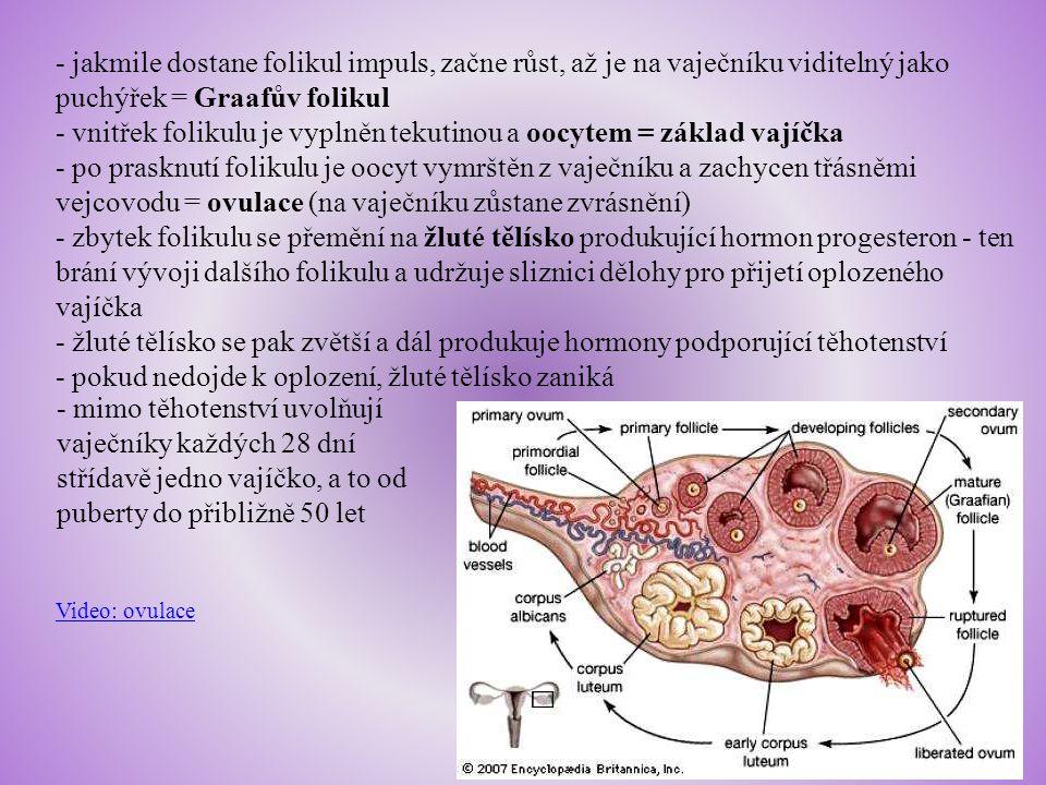 Vejcovody - párový orgán, asi 12 cm dlouhá trubice z hladké svaloviny vystlaná řasinkovým epitelem, zakončená třásnitými výběžky zachycujícími vajíčko - řasinky a pohyby svaloviny posouvají vajíčko do dělohy - dochází zde k oplození vajíčka Děloha - dutý svalový orgán hruškovitého tvaru uložený mezi močovým měchýřem a konečníkem, skládá se z těla a krčku - stěnu tvoří vrstva vaziva, vrstva hladké svaloviny a vrstva sliznice - svalovina má schopnost se v těhotenství roztáhnout, při porodu naopak svalové kontrakce vypuzují plod - sliznice je tvořena ze dvou vrstev; bazální naléhá na svalovou vrstvu a je stálá, funkční vrstva v pravidelných intervalech narůstá a poté odlučuje a odtéká s menstruační krví (pouze v případě uhnízdění oplodněného vajíčka zůstává)