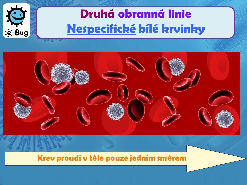 Druhá obranná linie Nespecifické bílé krvinky Krev proudí v t ě le pouze jedním sm ě rem