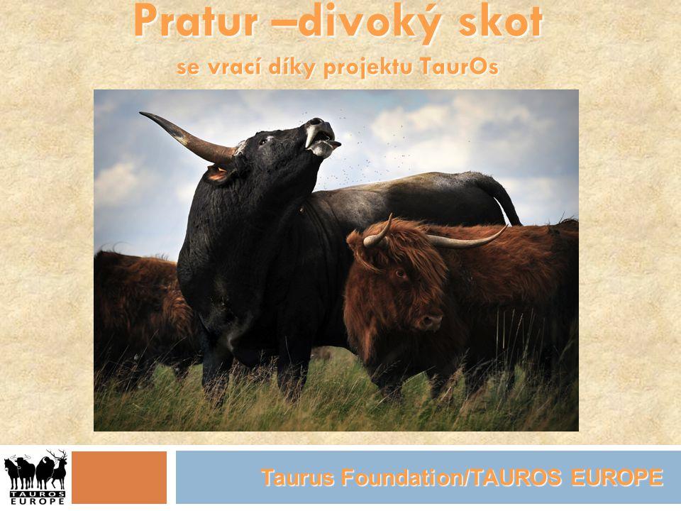 Pratur –divoký skot se vrací díky projektu TaurOs Taurus Foundation/TAUROS EUROPE