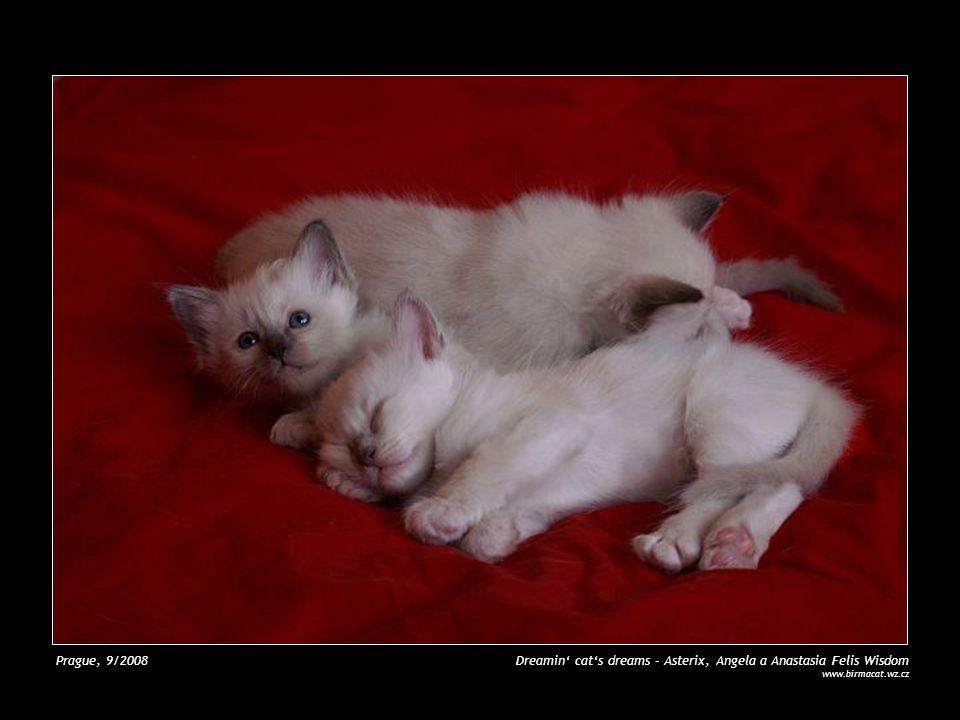 Prague, 9/2008 Cat's sisters – Angela a Anastasia Felis Wisdom www.birmacat.wz.cz
