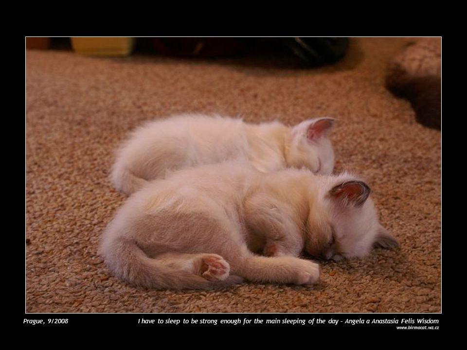 Litomyšl, 9/2007 Brittany Ametyst Blue www.birmacat.wz.cz