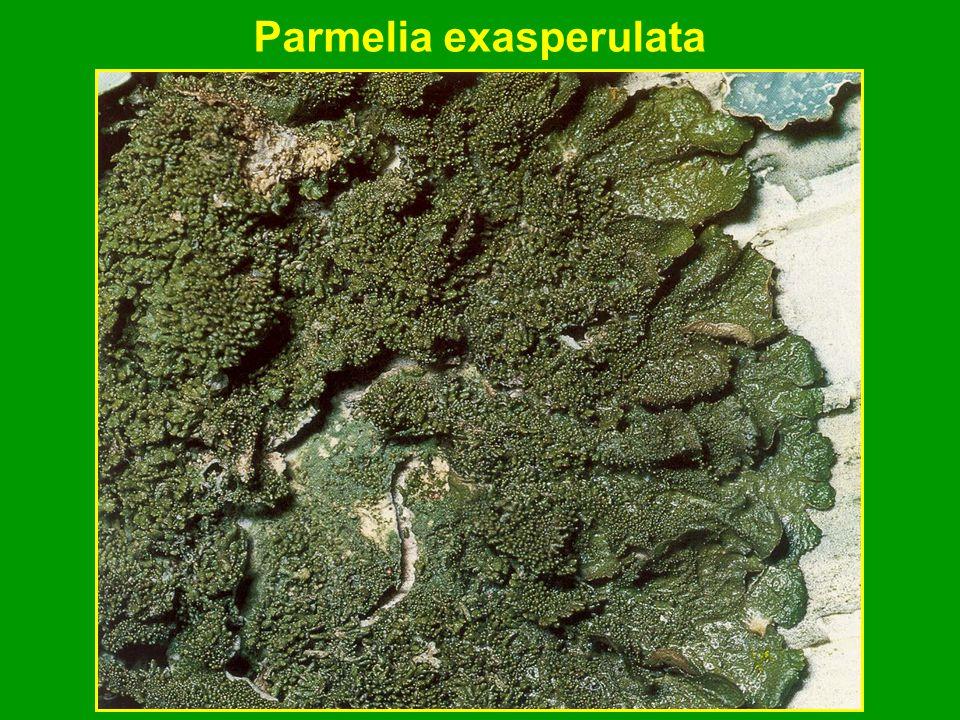 Parmelia exasperulata