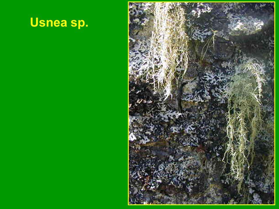 Usnea sp.