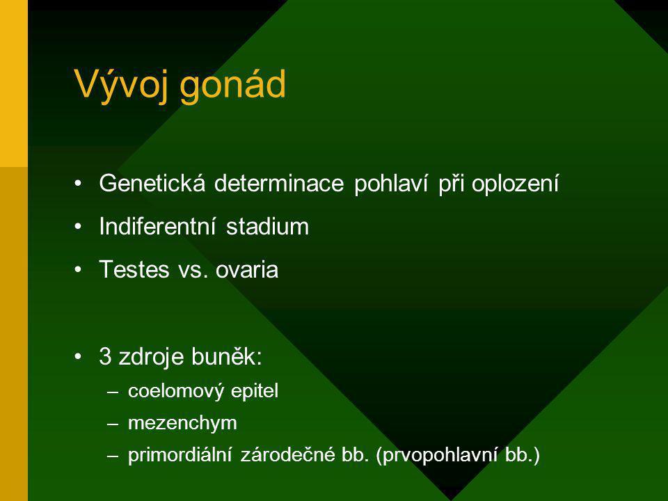 Vývoj gonád Genetická determinace pohlaví při oplození Indiferentní stadium Testes vs. ovaria 3 zdroje buněk: –coelomový epitel –mezenchym –primordiál