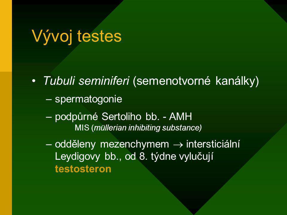 Vývoj testes Tubuli seminiferi (semenotvorné kanálky) –spermatogonie –podpůrné Sertoliho bb. - AMH MIS (müllerian inhibiting substance) –odděleny meze
