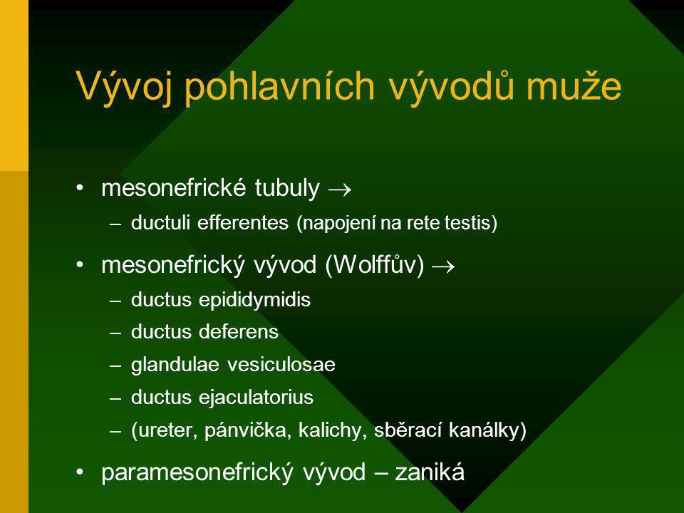 Vývoj pohlavních vývodů muže mesonefrické tubuly  –ductuli efferentes (napojení na rete testis) mesonefrický vývod (Wolffův)  –ductus epididymidis –