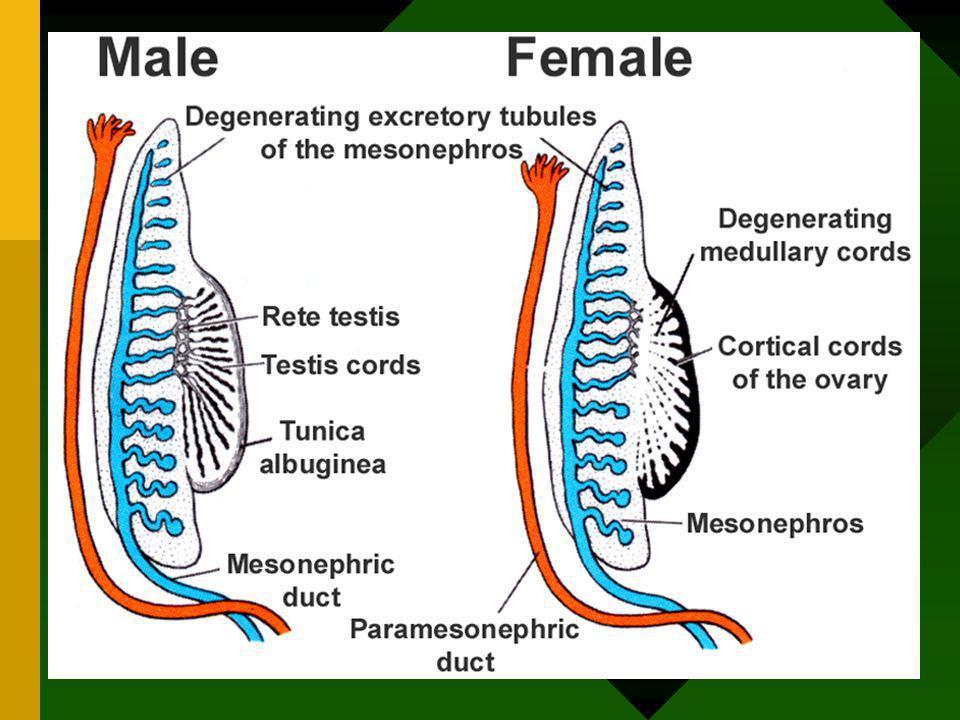 Vývoj pohlavních vývodů ženy mesonefrické vývody i tubuly zanikají paramesonefrické vývody –kraniální a střední část - vejcovody –kaudální části splýv