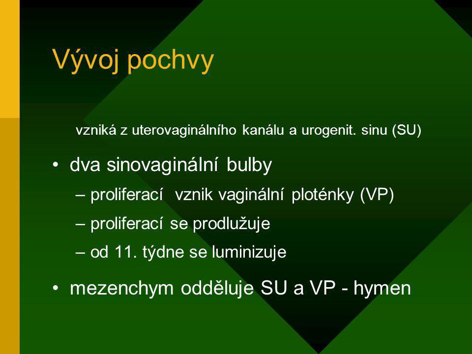 Vývoj pochvy vzniká z uterovaginálního kanálu a urogenit. sinu (SU) dva sinovaginální bulby –proliferací vznik vaginální ploténky (VP) –proliferací se
